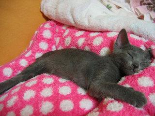 ピンクのベッドで眠るブルー。